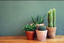 c a c t u s / s u c c u l e n t s / cactus and succulents