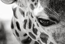 Giraffes / by Jessica Gordon