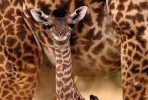 Giraffe / by Suzanne Willis