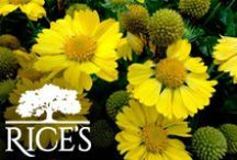 Yellow Perennials / Find the perfect shade of yellow for your garden or landscape. These perennials come in a variety of shapes and colors. / by Rice's