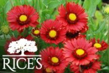 Red Perennials / Introduce the perfect shade of red into your garden or landscape. / by Rice's