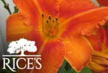 Orange Perennials / Add a pop of orange to your garden or landscape with these beautiful perennials! / by Rice's