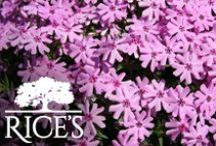 Pink Perennials / This board features a collection of pink perennials, sure to add the perfect pop of color in any garden! / by Rice's