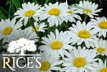 White Perennials / Add a pop of bright white to your garden or landscape with these white perennials! / by Rice's