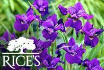 Purple Perennials / Growing in a range of lavenders and violets, these purple perennials offer beautiful pops of color. / by Rice's
