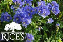 Blue Perennials / Blue perennials are beautiful additions to any garden and keep coming back year after year. / by Rice's