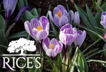 Early Bloomers / Introduce these early bloomers into your garden or landscape for an early burst of springtime color! / by Rice's