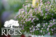 Spring Planting Ideas / Gain inspiration for your next spring planting project with these helpful tips! / by Rice's