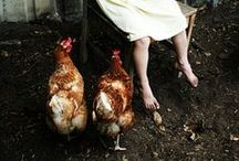 The Coop / Egg-laying chicken varieties and ideas for coop designs.
