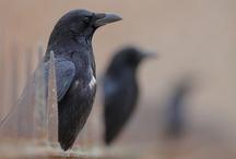 Crows & Ravens / by Morgan