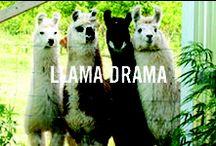 Llama Drama / Our Spirit Animal