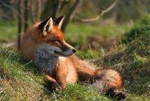 Fox / by Debbie Norris