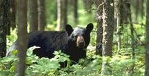Adirondack Wildlife / All about the wildlife that is native to the Adirondack Park.