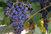 Wine Grape Varieties / So many grapes so little wine / by Gold Medal Wine Club