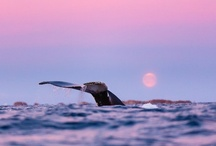 Cetacean / Whales & Dolphins / by Leisa Cearr