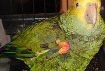 Robert the Parrot / by Chris Mass
