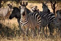 Kenia & Tanzania / Wat is eigenlijk het verschil tussen Kenia en Tanzania, wordt ons weleens gevraagd. De landen zijn wel buren van elkaar, maar hebben ieder een sterk eigen karakter. Waar Kenia volop safari is, staat Tanzania voor diversiteit. Hier vind je de Kilimanjaro – de hoogste berg van Afrika -, witte stranden op Zanzibar en toch ook een overdaad aan wild in het achtste wereldwonder: de Ngorongorokrater. Bouw je eigen reis op www.tanzaniaonline.nl.