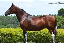 Belton Patterning / A collection of horses that have dark spotting inside their white markings or patterning unrelated to the cat tracks seen on homozygous tobianos. The exact cause or causes of these is unknown.