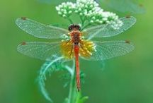 I ♥ Dragonflies / by Michelle Cohron-Penrose