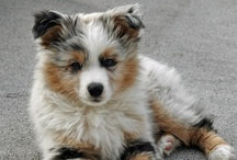 .:Australian Shepherd:. / IF...I were to get a dog...I MAY get an Austrailian Shepherd