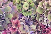 I got a thing for hydrangea~ / by Patty Sweeney-Shevchik
