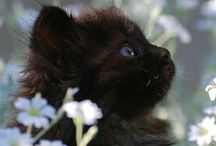 black cats are beautiful... / j'ai toujours voué un amour particulier aux chats noirs... le tout premier chat de ma vie était noir : il était déjà à la maison quand ma mère m'a ramenée de la maternité, et il a été mon premier contact avec le monde félin... lorsque j'ai eu mon premier appartement, les deux chats que j'ai adoptés étaient noirs, et, aujourd'hui, un autre chat noir hante mon appart', mes jours et mes nuits... j'aime les chats noirs... et ils me le rendent si bien... / by Isabelle de Beukelaer