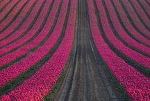 especially tulip