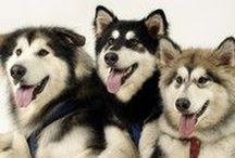 huski/malamute