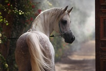 """HORSE - The ARABIAN / For the many Arabian Horses we have had.  Especially for Tiwara """"Tivie"""" who is living a great life in the Buckeye State of Ohio."""