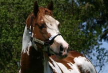 HORSE - The PAINT  / For Apache, our Paint, the All American Horse