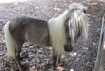 HORSE - The MINIATURE / The most adorable little horses - especially my Gwilym