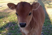 FARM LIFE  -  JERSEY CATTLE / The Miniature Jersey Cow