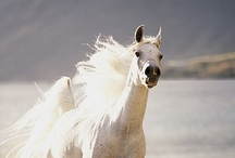 HORSE - The WHITE Beauties / Now I saw the heaven open, and behold a white horse.  He who sat on him was called Faithful and True..........and His name is called The Word of God.....King of Kings and Lord of Lords.   Revelations 19:11