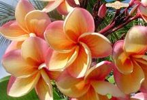 FLORA - PLUMERIA / Frangipani - Reminds me of the Hawaiian Islands.