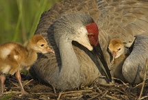 BIRDS - Sandhill Cranes / by Rethal Conkle
