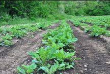 Terreni di patate Lady Viola, Vitelotte 2014 - Maggio 2014 - / Crescita delle nostre piccole Lady Viola, Vitelotte, presso i terreni di Grotte di Castro ( Viterbo ) intorno al Lago di Bolsena.
