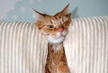 Crazy Comfy Cats / kitty furniture  / by Jenny Ashley