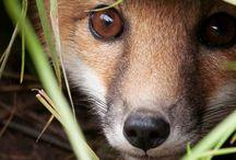 Animals - Foxy