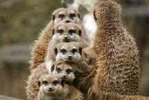 Animals - Meerkats