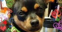 AYE CHIHUAHUA ❀⊱ℑт'﹩ Ałł Ѧ♭◎üт ♏ℯ⊰❀ / Did I mention... I used to be a Chihuahua!?!?!