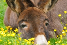 Donkeys, Mules and Asses
