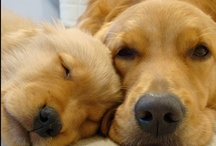 Just Goldens / Because my life will never be complete without one - Goldens get their own board / by Debbie Szumylo