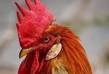CHICKENS . . . / by Barbara . . .