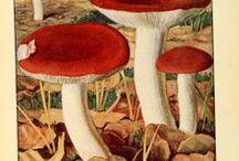 Mushrooms / Photos and illustrations of all kind of mushrooms.