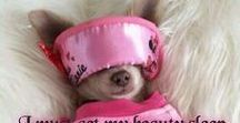 AYE CHIHUAHUA ❀⊱ℑт's Ałł Ѧ♭◎üт You⊰❀ / Did I mention... I used to be a Chihuahua!?!?!