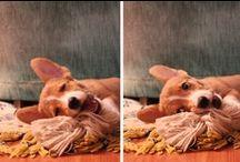 corgis / the best dogs. period. #corgi / by Kat Randall