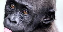 We LOVE Gorillas! / We love a good Gorilla every now and then...