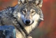 Wolves / by Margie Hillenbrand