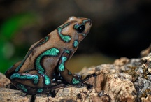 Amphibian CRAZY!!!!! / by Sherri Velliquette