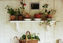 Geraniums - Tango Pelargonia